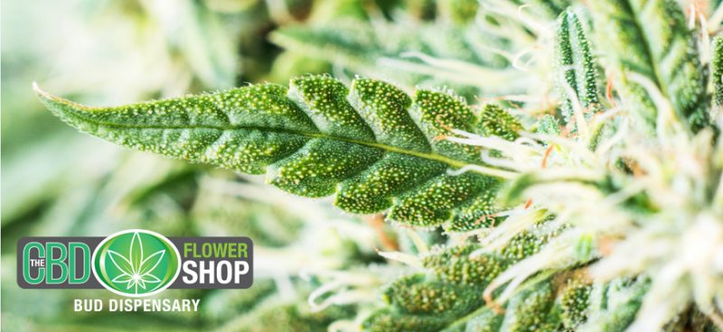 Get to Know the CBD Flower Shop | Leading UK Supplier of CBD